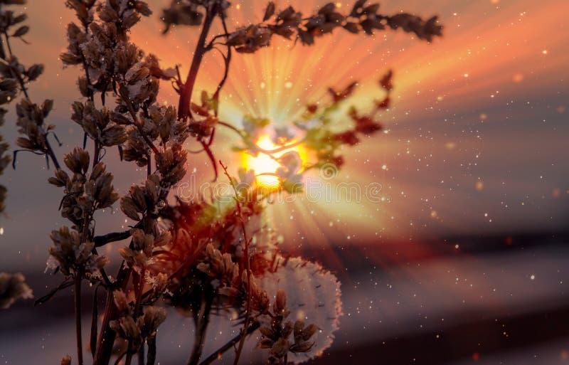 Usines sèches avec la neige au coucher du soleil un jour givré images stock