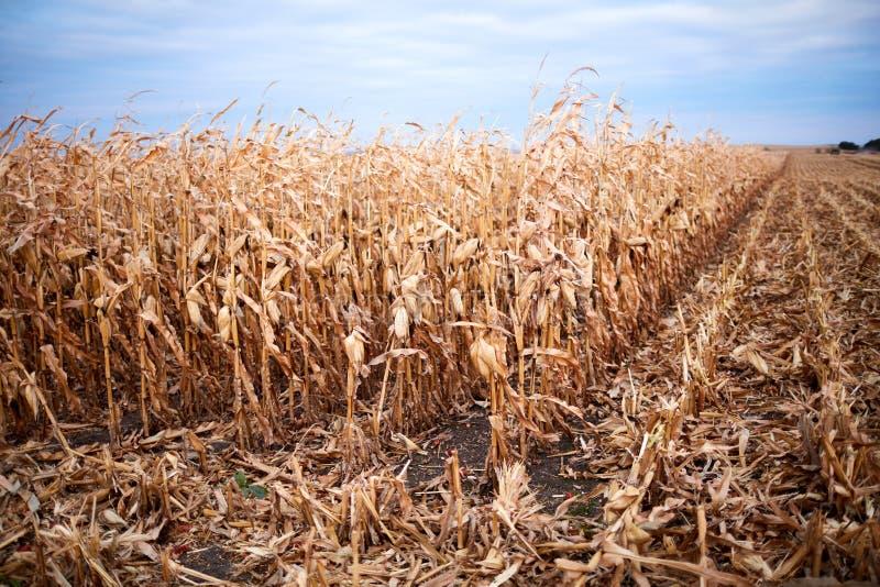 Usines sèches de maïs ou de maïs dans un domaine de ferme photos stock