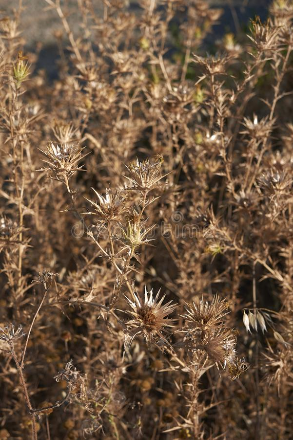 Usines sèches lanatus de Carthamus image libre de droits