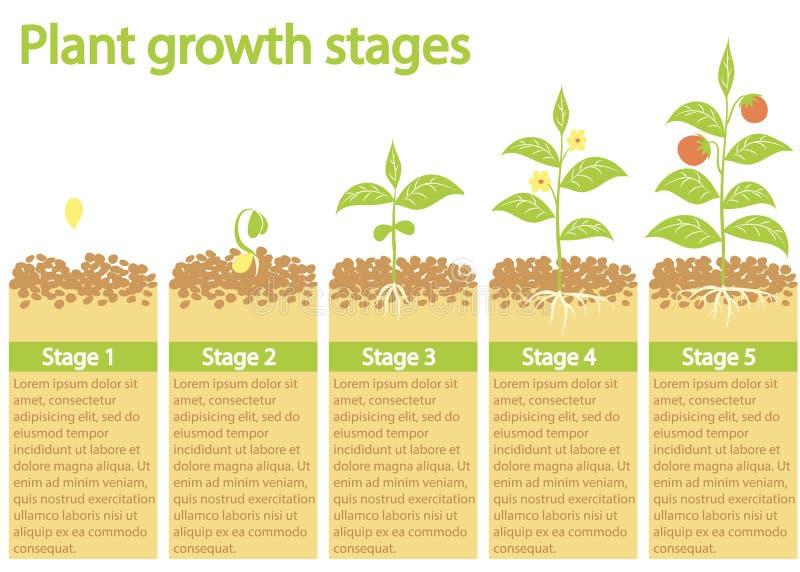 Usines s'élevant infographic Usines élevant le processus Étapes de croissance de plantes illustration de vecteur
