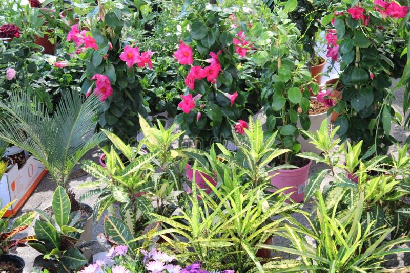 Usines s'élevantes avec les fleurs roses images stock