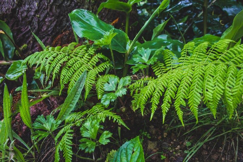 Usines sauvages s'élevant sur l'au sol de forêt sur le sao Miguel Island, Açores, Portugal image stock
