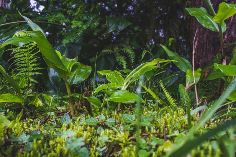 Usines sauvages s'élevant sur l'au sol de forêt sur le sao Miguel Island, Açores, Portugal photos libres de droits
