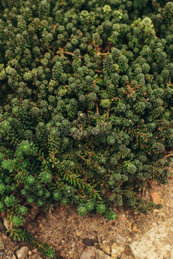 Usines succulentes élevant la vue supérieure image libre de droits
