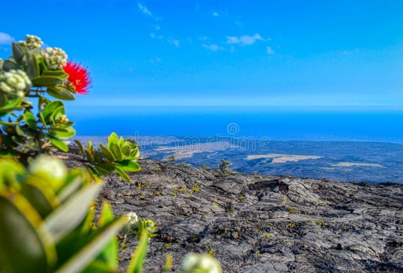 Usines succulentes fleurissantes vertes s'élevant sur la vieille île noire de gisement de lave grande, Hawaï photos libres de droits