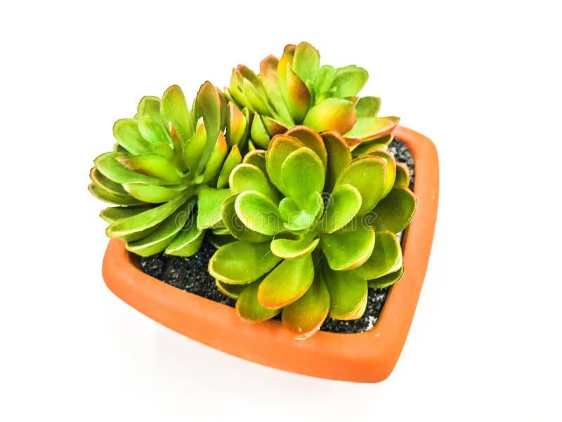 Usines succulentes miniatures en photo d'actions de jardin de pot image stock