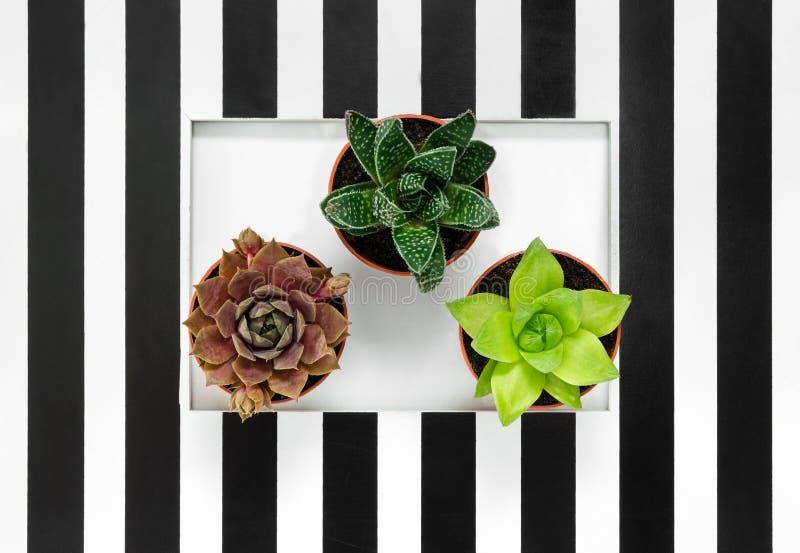 Usines succulentes sur le fond rayé noir et blanc images stock