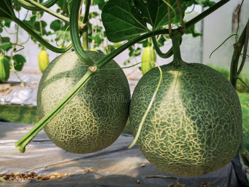Usines vertes fra?ches de melons de cantaloup dans le jardin organique de serre chaude Les melons verts cultivent images stock