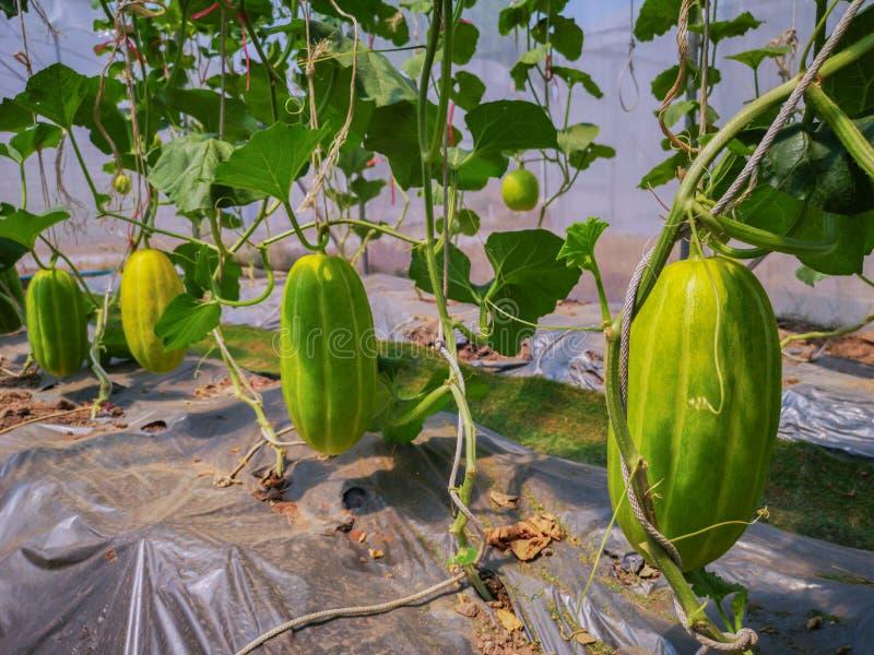 Usines vertes fra?ches de melons de cantaloup dans le jardin organique de serre chaude Les melons verts cultivent photo stock