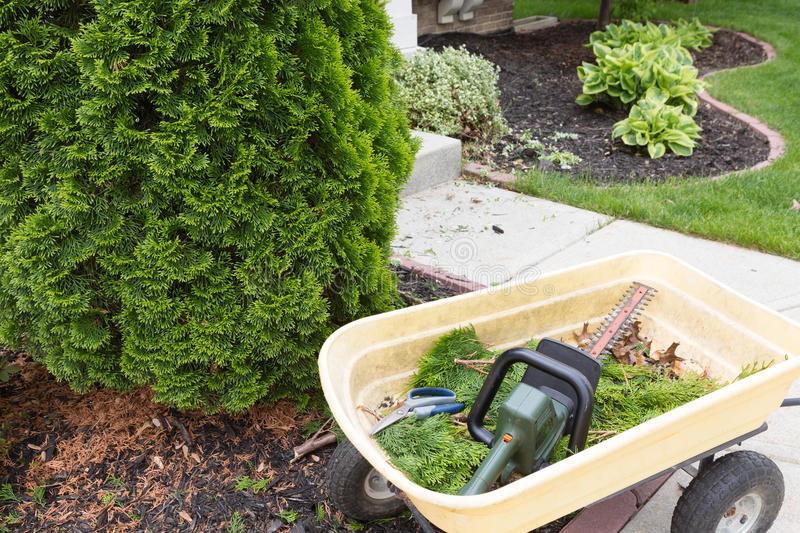 Using a hedge trimmer to trim Arborvitaes. Or evergreen Thuja trees around the house to maintain their ornamental tapering shape in spring royalty free stock image