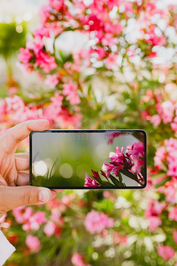 Using smartphone to make a photo in macro mode. Using smartphone to make a photo of rose colored flowers in macro mode royalty free stock photos