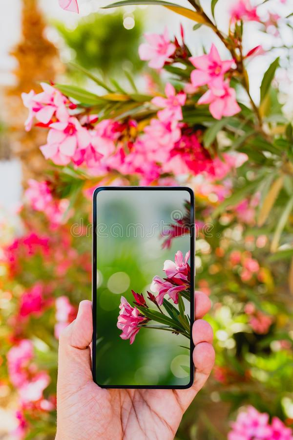 Using smartphone to make a photo in macro mode. Using smartphone to make a vertical photo of rose colored flowers in macro mode royalty free stock images