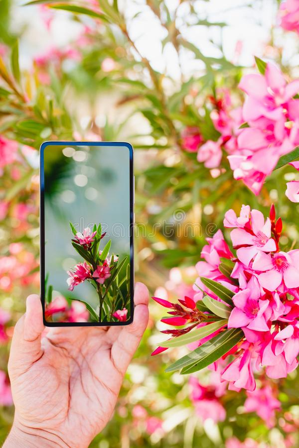 Using smartphone to make a photo in macro mode. Using smartphone to make a vertical photo of rose colored flowers in macro mode stock photo