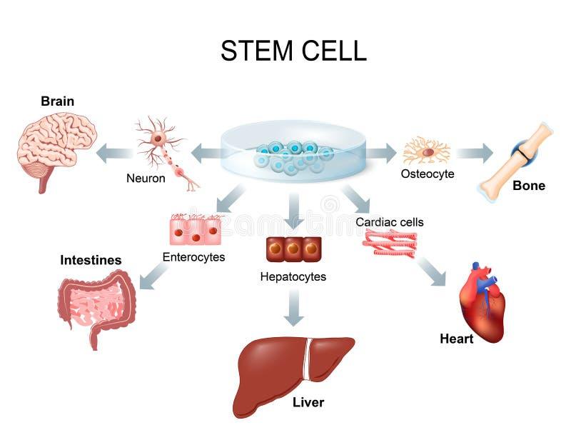 Using stem cells to treat disease. Stem cell application. Using stem cells to treat disease royalty free illustration