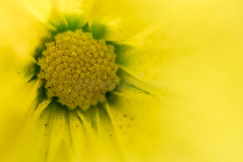 Macro photography of the head of a yellow flower, seen in full, springtime bloom. Using a very shallow focus, detail of the pollen head and some details of the royalty free stock photos
