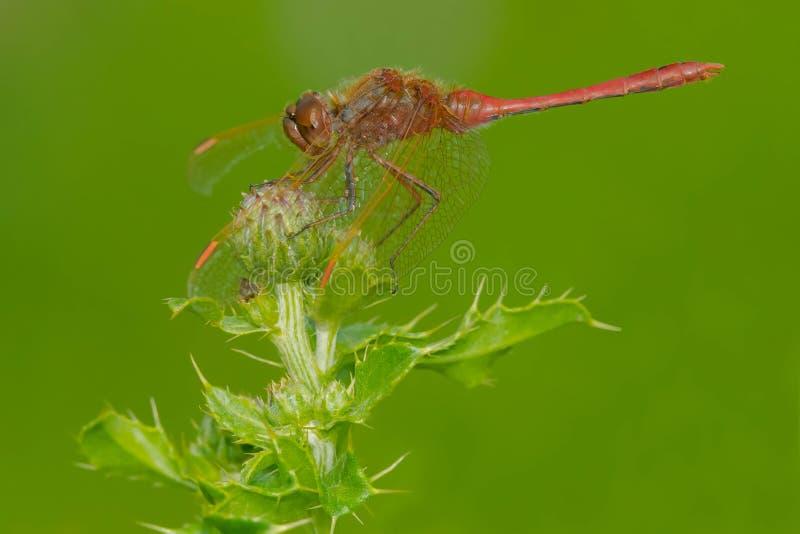 Uskrzydlający Meadowhawk Dragonfly - Sympetrum costiferum fotografia stock