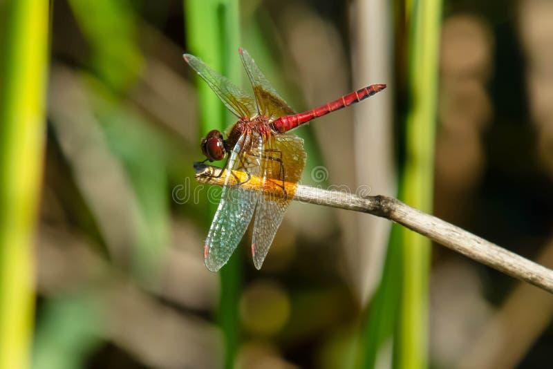 Uskrzydlający Meadowhawk Dragonfly - Sympetrum semicinctum fotografia stock