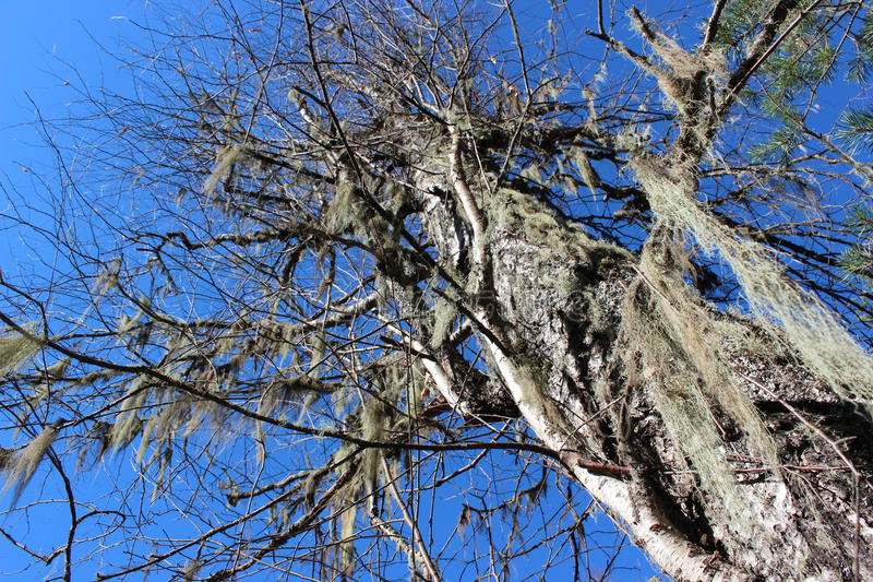 Usnea on the old tree. royalty free stock photography