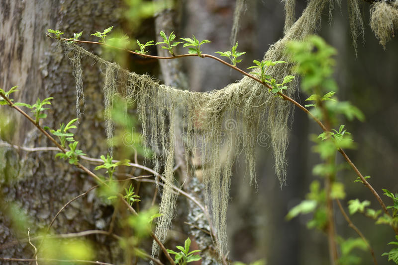 Usneabarbata, de oude paddestoel van de mensen` s baard op een pijnboomboom stock fotografie