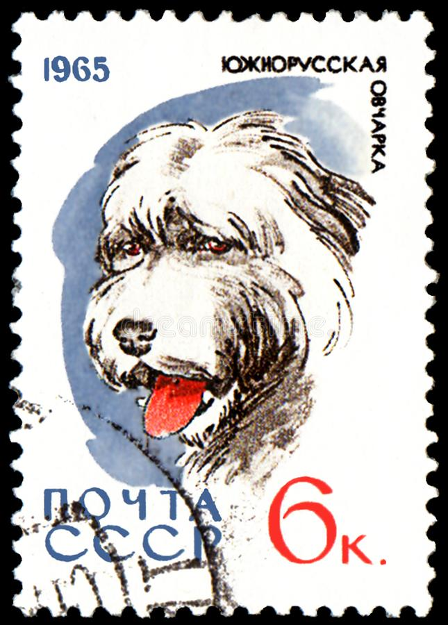 USSR - CIRCA 1965: postage stamp, printed in USSR, shows a South Russian shepherd , series Hunting and Service Dogs stock photo