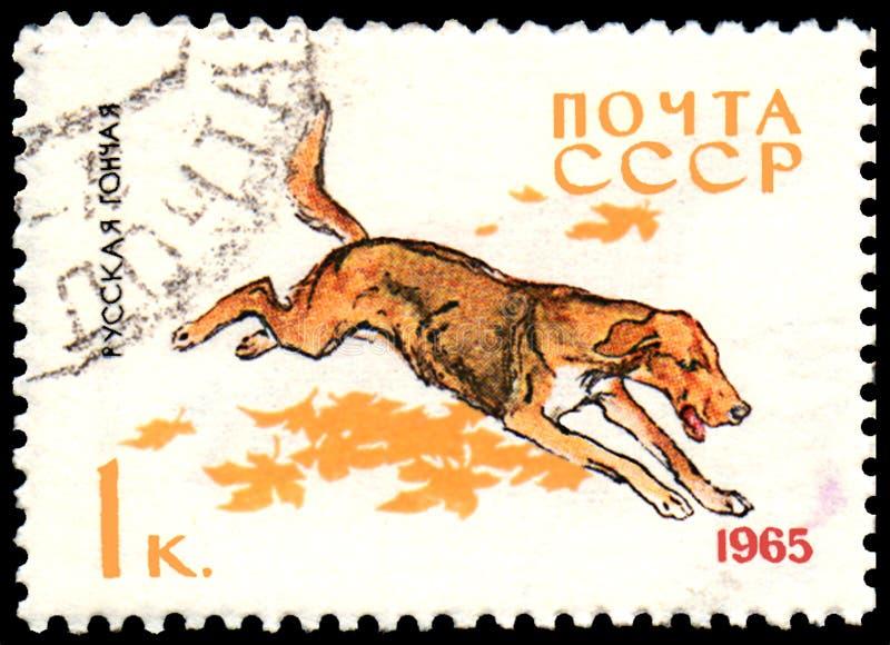 USSR - OKOŁO 1965: znaczek pocztowy, drukujący w USSR, pokazuje Rosyjskiego ogara, serie Tropi i usługa psy, zdjęcie stock