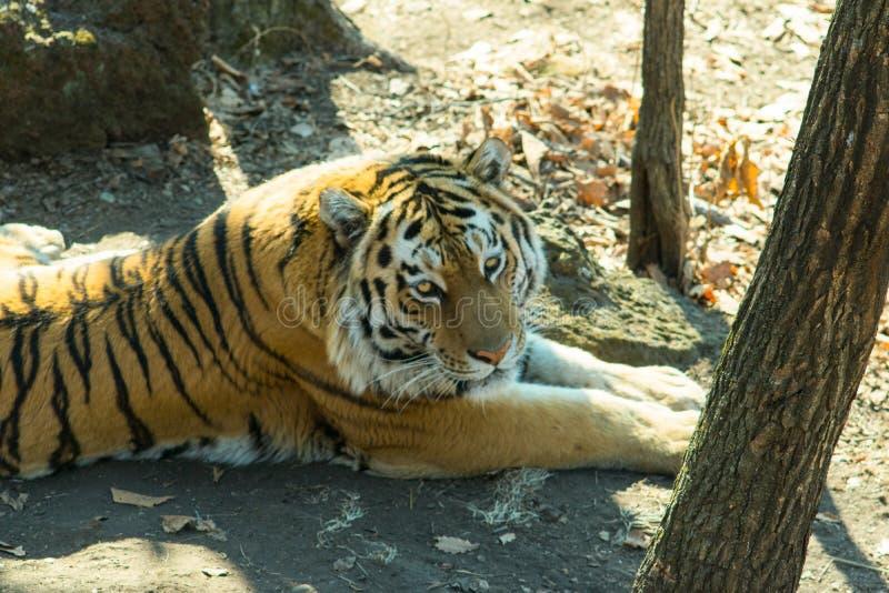 Ussuri老虎在森林里在它自己的足迹附近 免版税库存图片