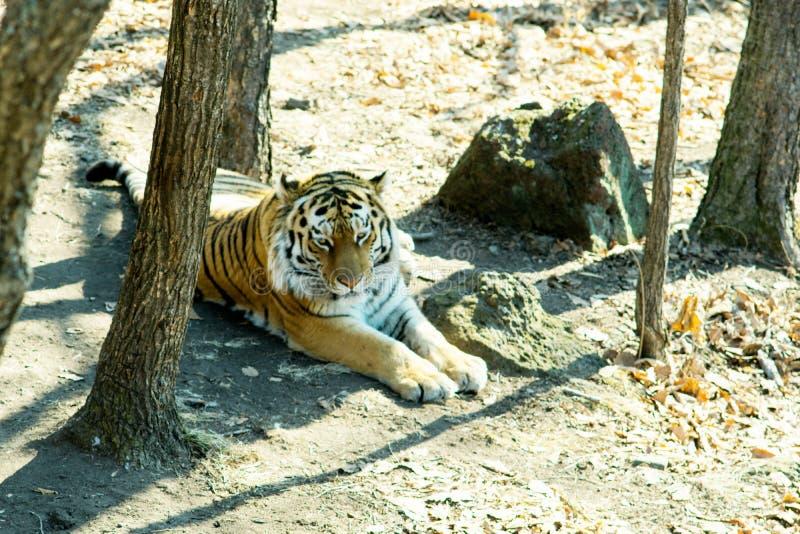 Ussuri tygrys kłama w lesie blisko swój swój śladu obrazy stock