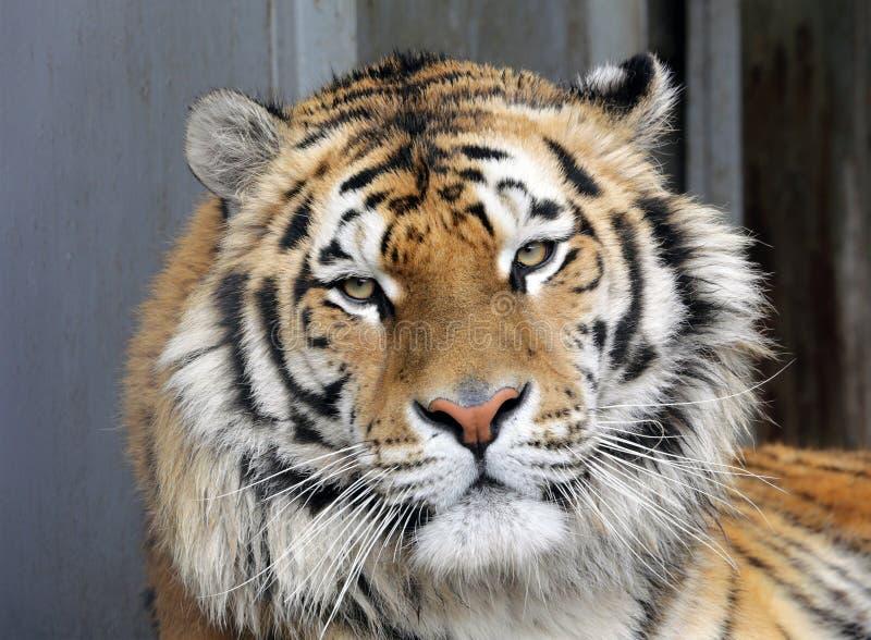 Ussurian tygrys w zoo zamkni?ty twarz zamkni?ty tygrys obrazy royalty free