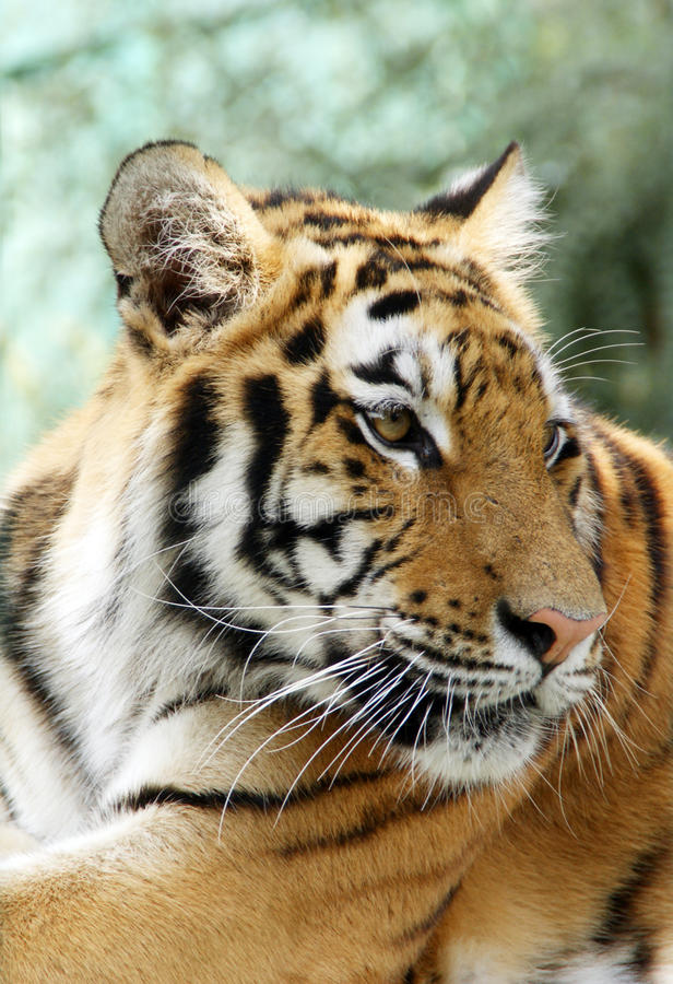 Ussuriisk Tiger Royalty Free Stock Photos