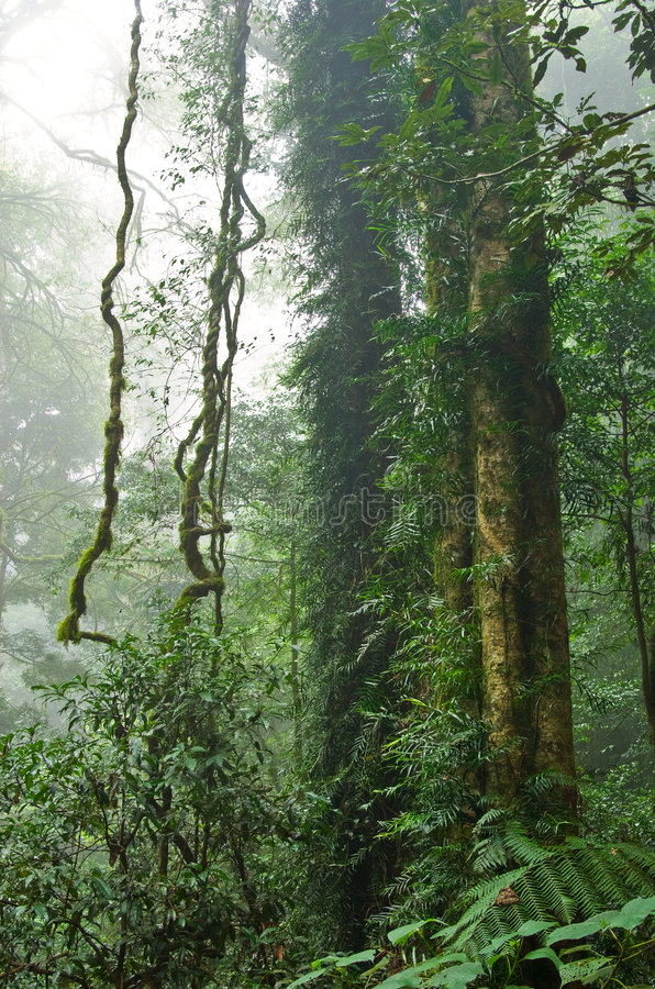 ustawcie drzewa podeszczowych las zdjęcia royalty free