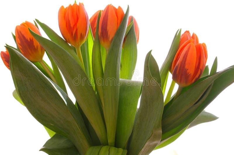 Download Ustaweni Pomarańczowi Tulipany Obraz Stock - Obraz złożonej z tło, odosobniony: 13341109