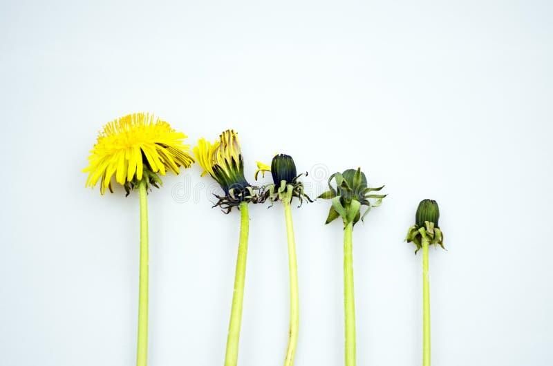Ustawia dandelions Dandelions ?ycie, kopii przestrze? fotografia royalty free
