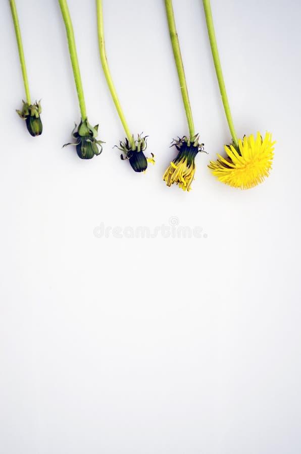 Ustawia dandelions Dandelions ?ycie, kopii przestrze? obrazy stock
