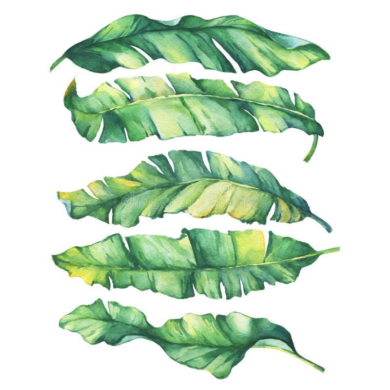 Ustawia egzotycznych tropikalnych banana koloru żółtego i zieleni liście royalty ilustracja