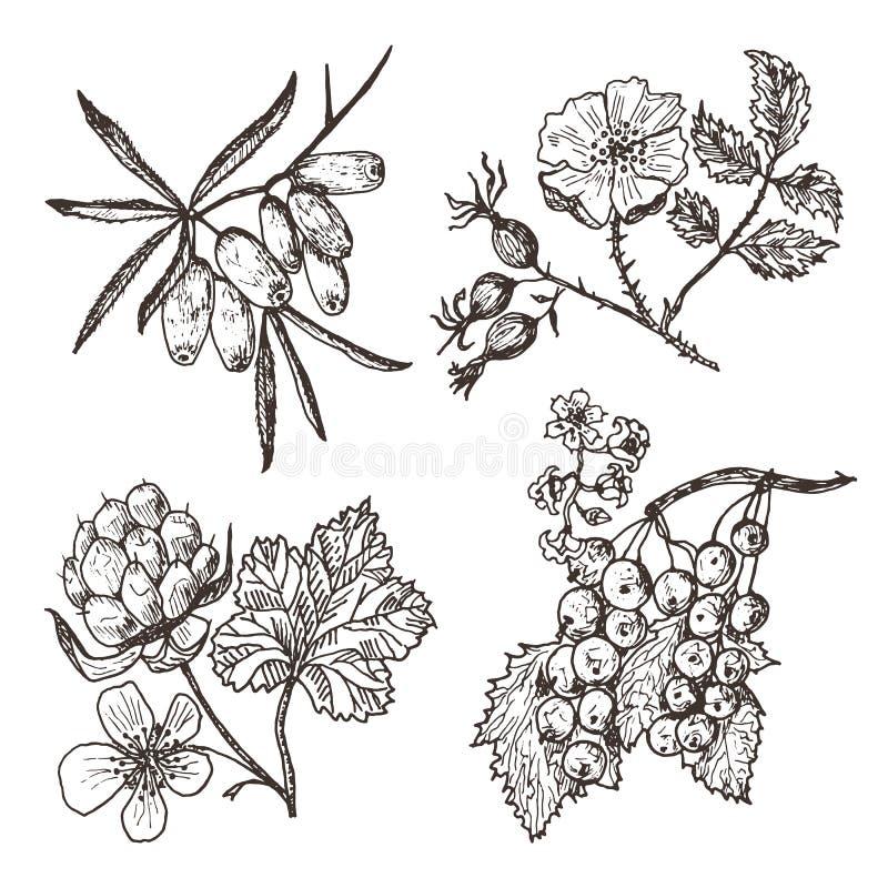 ustawia jagody denny buckthorn, czerwoni rodzynki, moroszka, róża grawerująca ręka rysująca w starym nakreśleniu, rocznika styl ilustracji