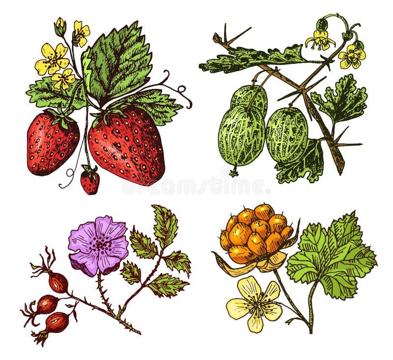 ustawia jagody malinka, czarna jagoda, denny buckthorn, czerwoni rodzynki, truskawka, agrest, arbuz, moroszka, pies wzrastał royalty ilustracja