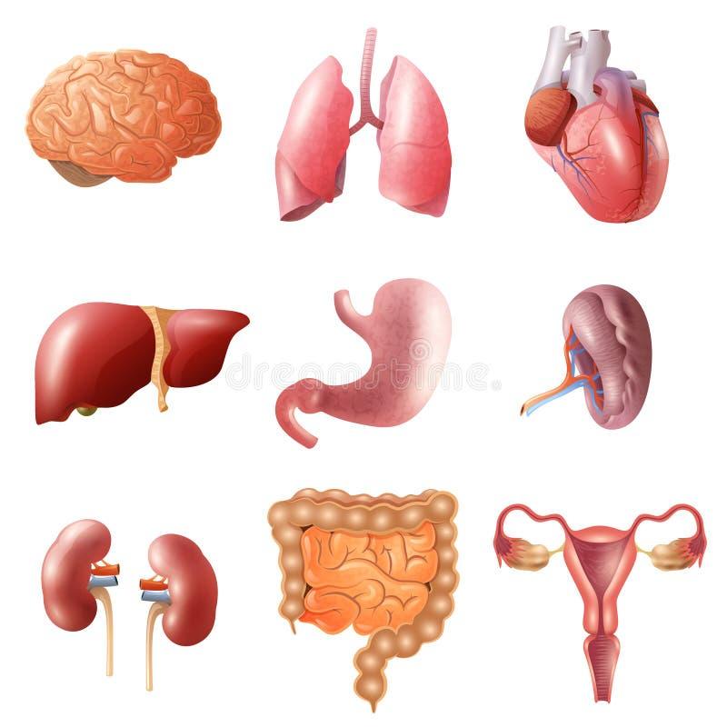 ustawiający ludzcy organy ilustracja wektor
