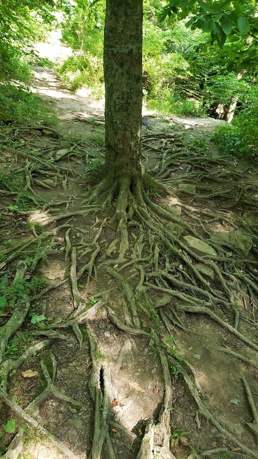 Usted no tiene que perder sus raíces para crecer fotos de archivo