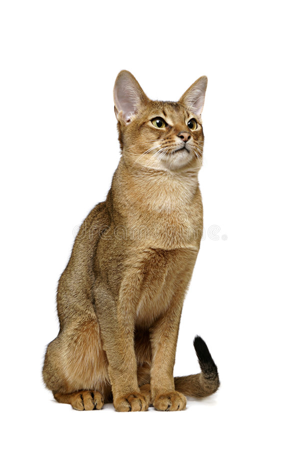 Usual Abyssinian portrait royalty free stock image