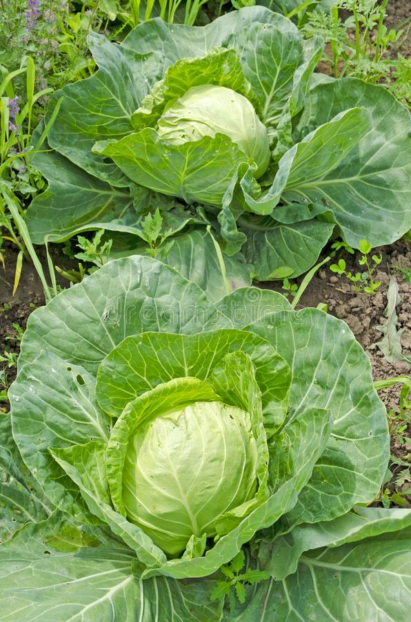 Usual cabbage beds in the garden. Russia. Siberia. stock image