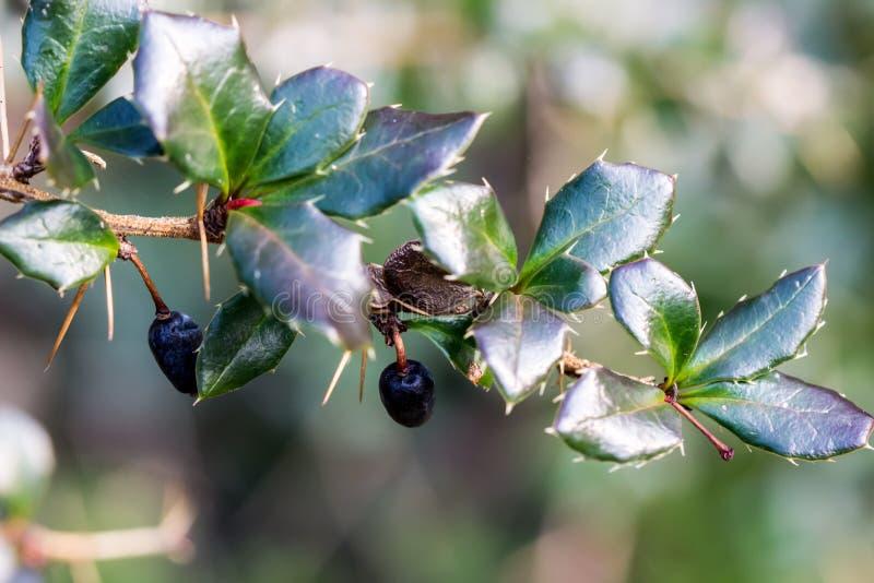 Usychać purpurowe jagody na cierniowatej gałązce obraz stock