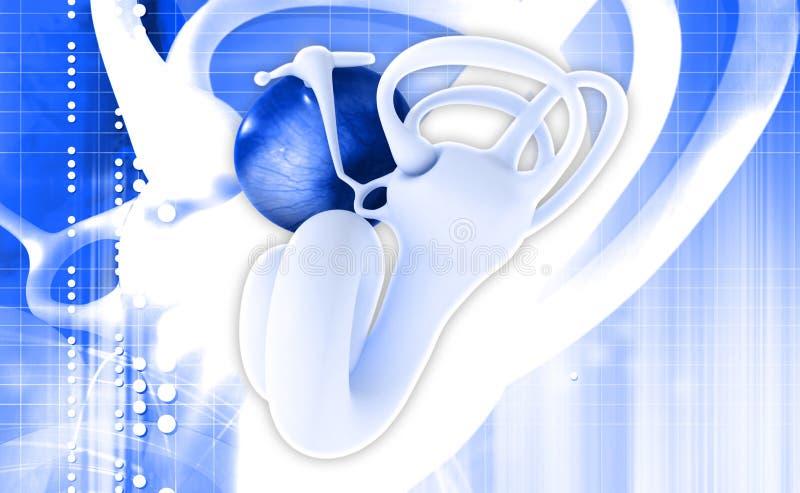 Download Uszata anatomia ilustracji. Ilustracja złożonej z biologia - 42525230