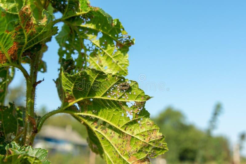 Uszkadzać dokrętka ogródu choroby Zbliżenie hazelnut liście z gąsienicowymi dziurami zdjęcie stock