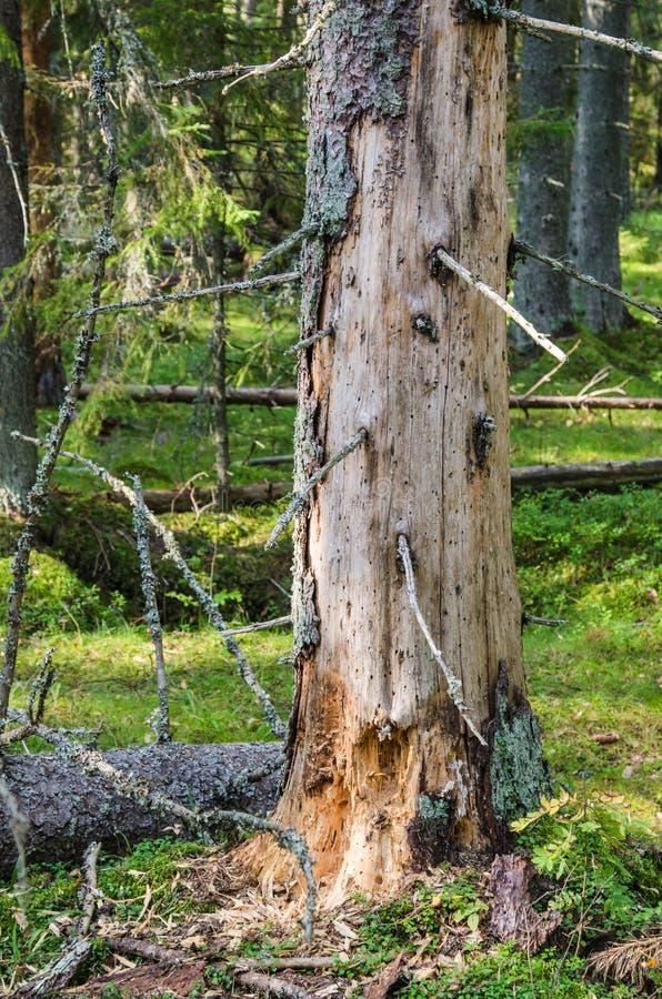 Uszkadzający drewniany zarazy drzewo w lesie zdjęcia stock