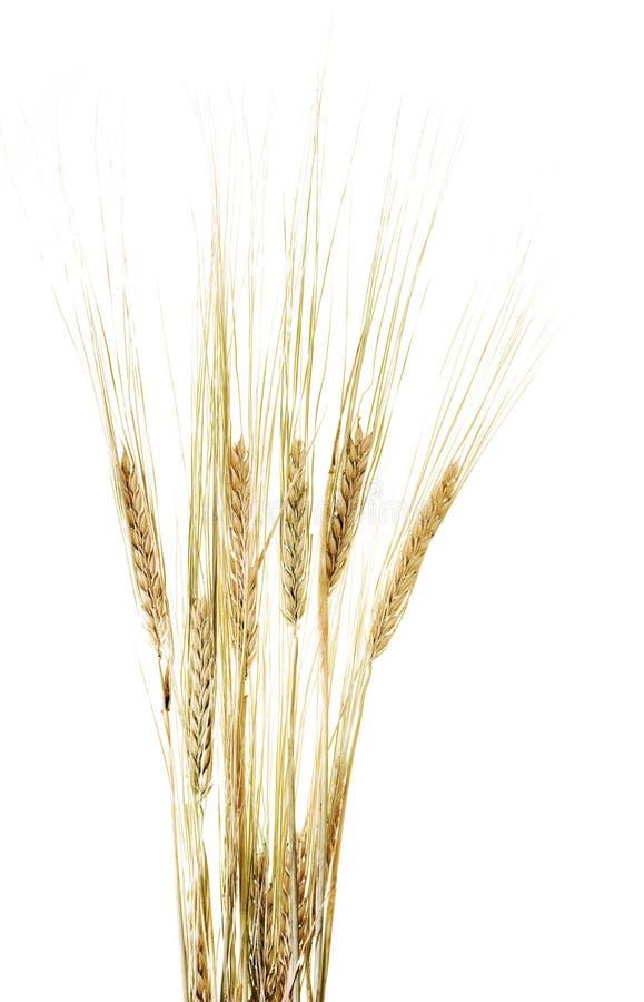 uszy white pszenicy obraz stock