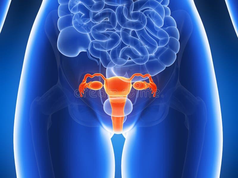 Utérus accentué illustration libre de droits