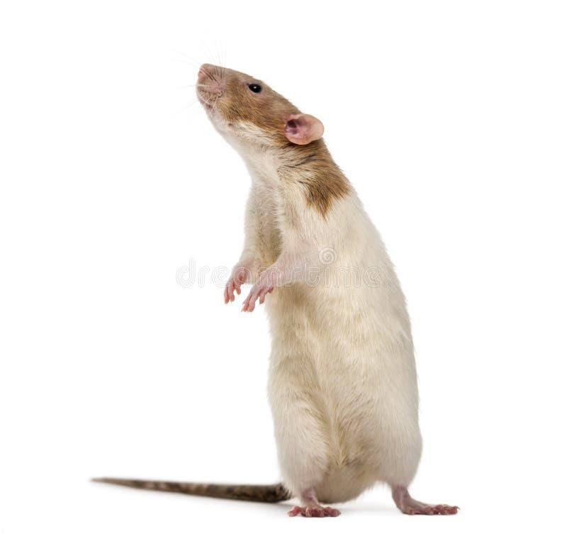 Ut debout de rat sur les jambes de derrière, d'isolement photos libres de droits