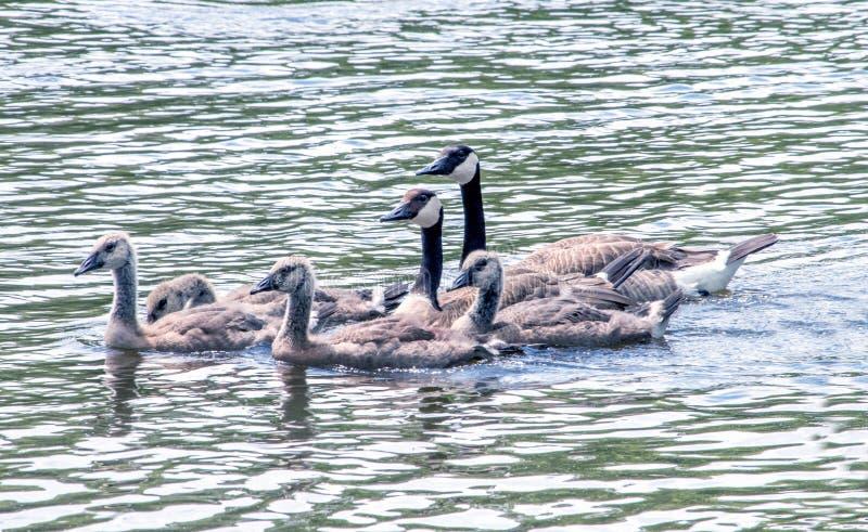Ut för ett bad med deras stolta lilla familj av unga gässlingar royaltyfri fotografi