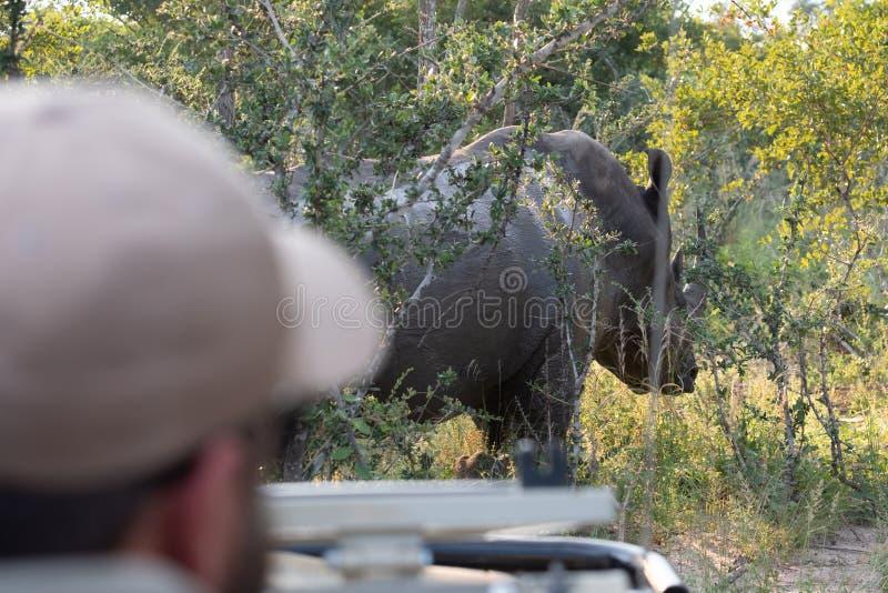 Ut ur fokus i förgrund bogserare som kör safarimedlet I bakgrund i fokus vit noshörning på Sabi Sands, Sydafrika fotografering för bildbyråer
