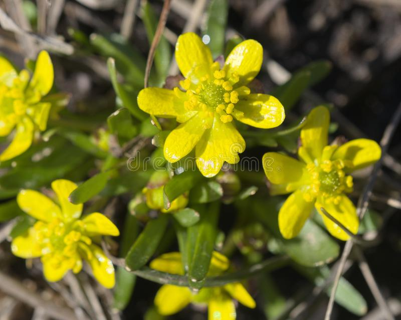 Utah Buttercup flowers. In the Bannock Mountains of Idaho stock photography